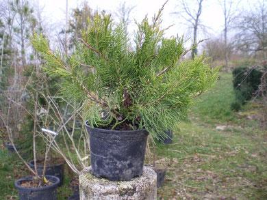 Juniperus media x old gold