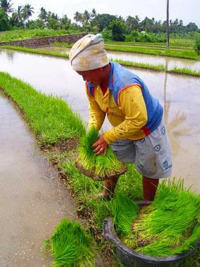 Bäuerin beim Reispflanzen