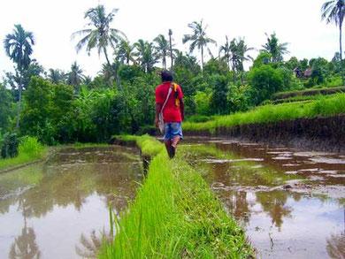 schmaler Pfad durch Reisfelder