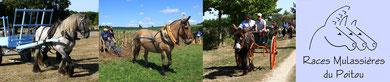 L'association des races mulassières du Poitou