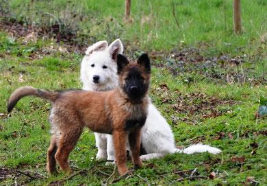 berger blanc suisse et berger belge tervueren