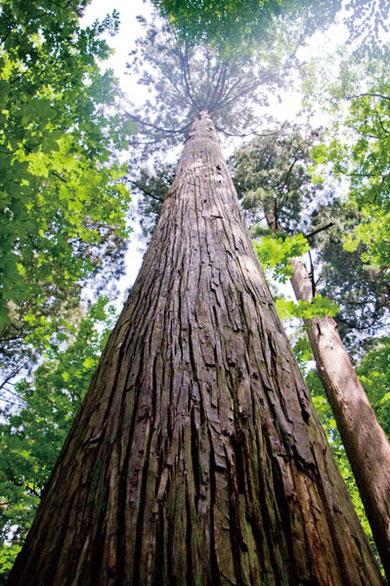 その中でひときは高い杉がこれです