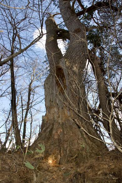 2011/4/3 幹周4.15m 樹高22m 一本の幹は折れて脇にありました