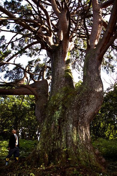 大滝温泉の三頭木のアカマツ