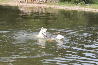 beger blanc chiot disponible nage lavogne baignade