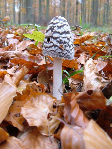 Spechttintling   Coprinus picaceus  , hier in den Solling Laubwäldern auf Kalk sehr häufig !