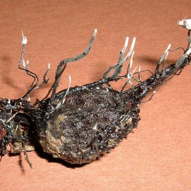 Buchenfruchtschalen-Keule    Xylaria carpophila