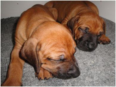 Zwei müde Löwenhunde