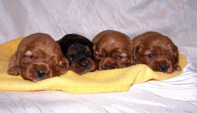 Carlo, Camillo, Cooper, Chico 3 Wochen alt