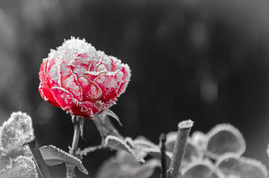 Die gefrorene Rose das letzte Überbleibsel des vergangenen Jahres...