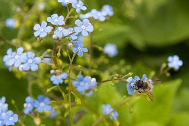 Peter R. - Foto 14 - Frühling VergisstManNicht, summte die Biene und trank weiter