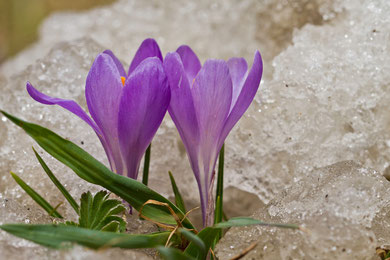 Foto 5 - Der Frühling kann behindert aber nicht auf gehalten werden.