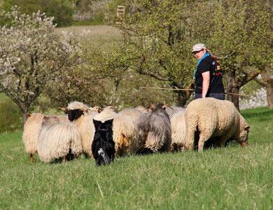Faye treibt die Herde hinter mit her