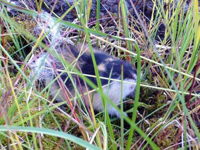 Ein todesmutiger Lemming