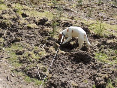 ... hier haben Wildschweine gewütet und Abi ist ganz wild