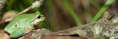 Laubfrösche sind geschickte Jäger - Foto:O.Klose