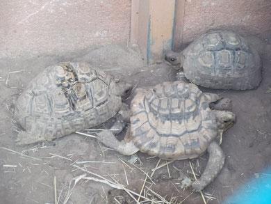 tortues léopart: malformation de la carapace suite à une mauvaise alimentation