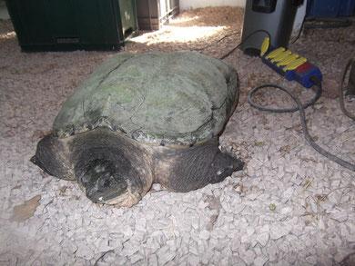 tortue serpentine, 23 Kg amenée par un particulier acheté dans une animalerie...