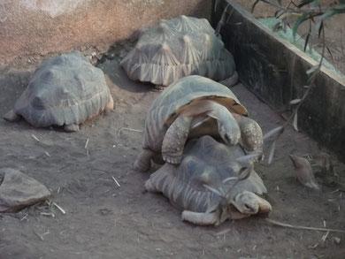 tortue étoilée  de madagascar: en mode bébé