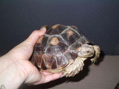 tortue marginée