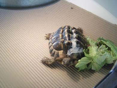 tortue mordue par un chien