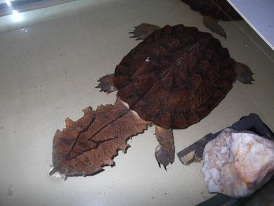 la tortue matamata