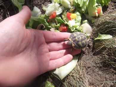 bébé tortue hermann de quelques mois