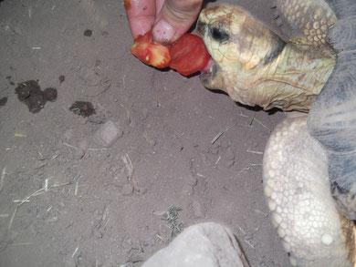 tortue de madagascar: grosse fain