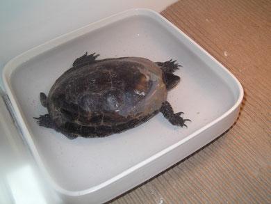 tortue écrasée par une voiture: carapace reconstituée avec de la fibre de vert