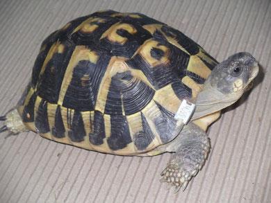 La tortue Hermann