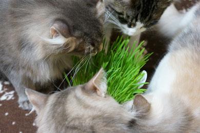 ルッチ~は猫草が大好物♪