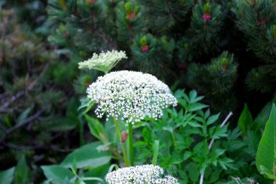 高山植物・乗鞍山頂に咲く花 photo by 白鳥保美