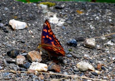 高山での蝶  photo by 白鳥保美