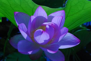 蓮の花  photo by 白鳥保美