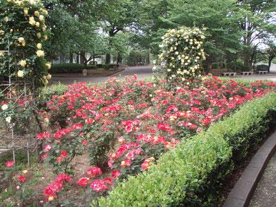 年間管理しているバラ花壇
