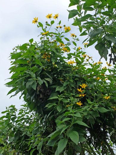 ミモレ農園 農薬不使用 菊芋の花