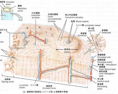 骨、血管、リンパ管、図