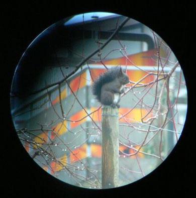 Eichhörnchen im Garten: Bild vom 12.Jan. 2008