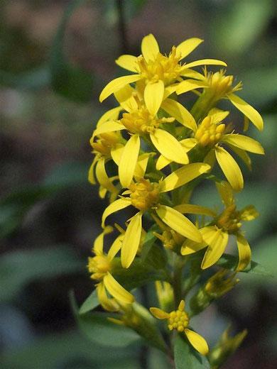アキノキリンソウ :やっぱりこの時期の華やぎはこの花です。