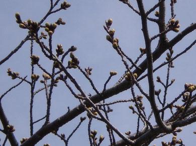 今日の桜(おとなり・犀潟鉄工所)。開花に向けてレッツ・ゴ~!