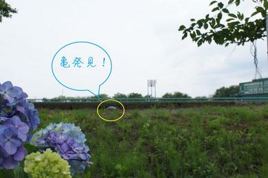 高田公園野球場の土手に咲くアジサイと日向ぼっこ?をしているカメ