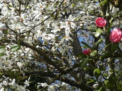 Magnolia stellata et camellia 'Mathotiana Rosea'