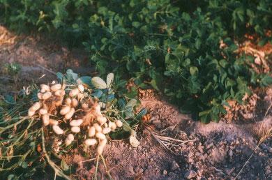 """Arachiden (Erdnüsse) sind übrigens keine """"echten"""" Nüsse sondern botanisch mit Erbsen und Bohnen verwandt"""