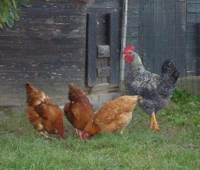 Unsere Hühner  wurden in verschiedenen Foyers de jour von Senioren ausgebrütet.  Als sie größer wurden, sind sie zu uns auf den Hof umgezogen