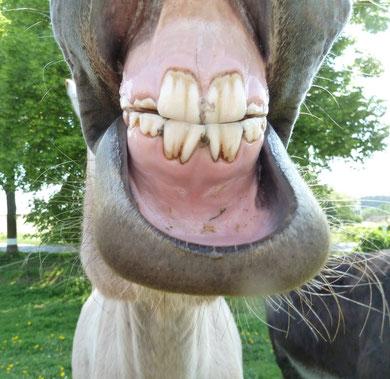 Muli Charlotte zeigt stolz ihre neuen Zähne ;-)