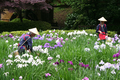 Flower pickers in traditional costumes at Yakushi-ike park in Machida, western Tokyo on June 11, 2012