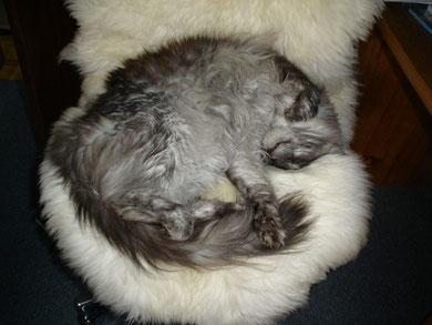 Katze auf großem Lammfell...