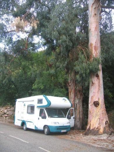 riesige Eukalyptusbäume auf dem Weg Richtung Porto