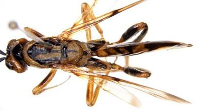 ニホンヒラタタマバチ:同じ個体を背面から