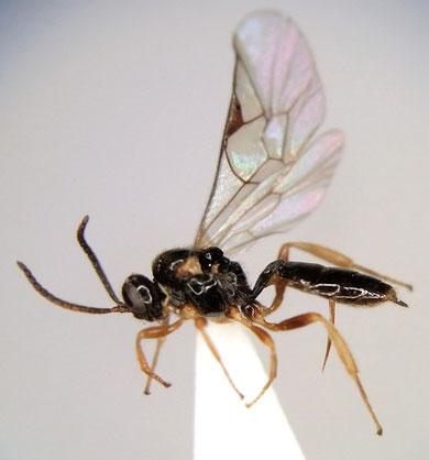 Adelognathus sp.